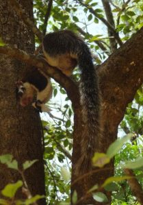 The Giant Squirrel in Sri Lanka