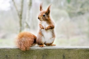 Why no Red Squirrel instead in the John Lewis advert?